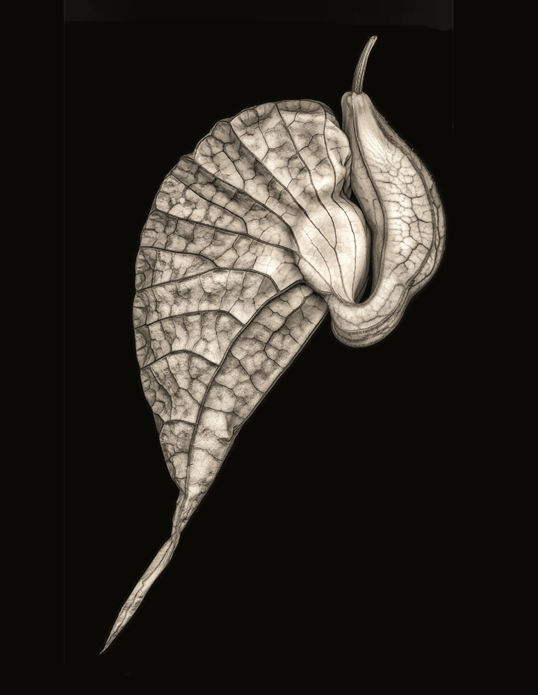 "© Don Rice, ""Aristolochia"", Finalist ""Monochrome"" International Garden Photographer of the Year"