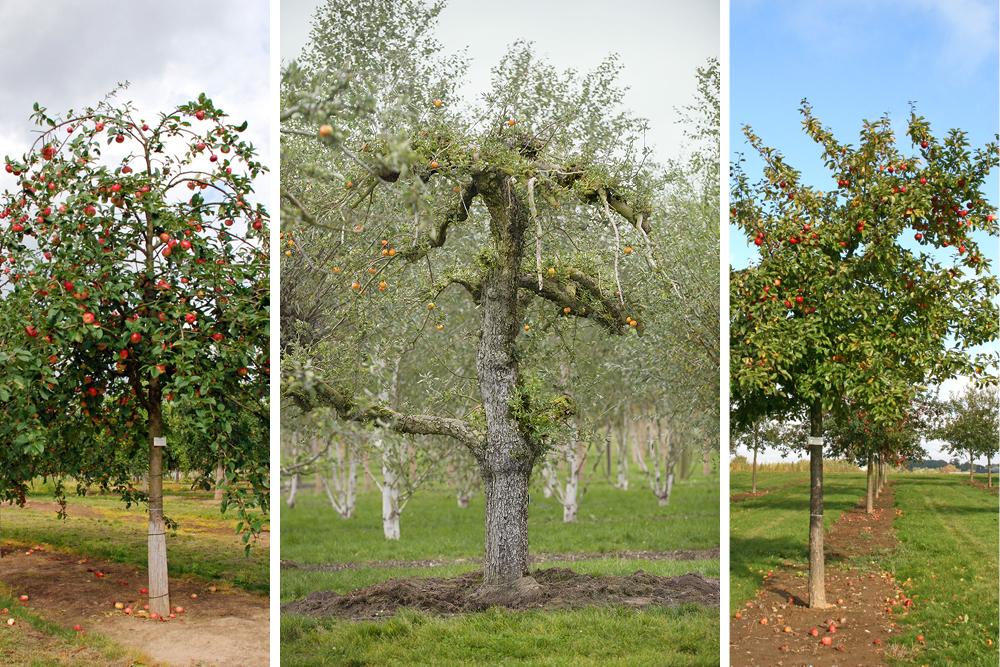 Apfelsorten diverse © Baumschule Lorenz von Ehren