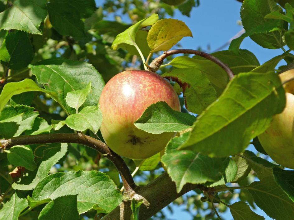 """Apfel """"Fuji"""" © Baumschule Lorenz von Ehren"""