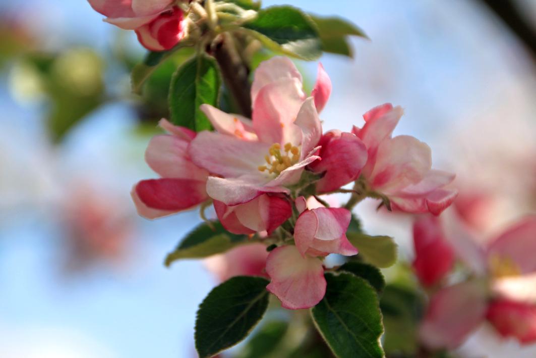 Apfel 'Zaubergäu Renette' © Baumschule Lorenz von Ehren