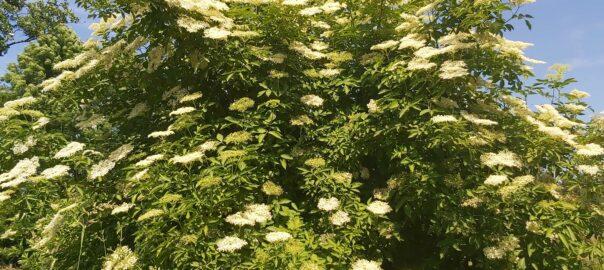 Ein Holunderbusch in voller Blüte